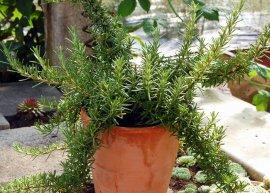 Rosmarin 'Boule' (Pflanze)