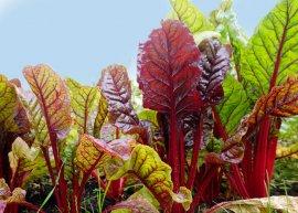 Roter Mangold 'Rhubarb Chard' (Saatgut)