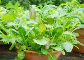 Salatmischung 'Orient' (Saatgut)