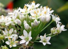 Schnittknoblauch (Pflanze)