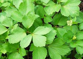 Schottischer Liebstöckel (Pflanze)