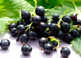 Schwarze Johannisbeere 'Titania' (Pflanze)