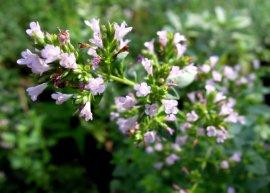 Schweizer Oregano 'Aromatico' (Pflanze)
