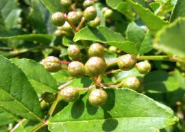 Szechuan-Pfeffer (Pflanze)