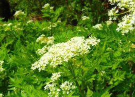 Süßdolde (Pflanze)