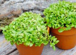 Teppich-Poleiminze (Pflanze)
