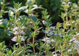 Französischer Thymian (Pflanze)