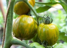 Salattomate 'Green Bellpepper' (Saatgut)