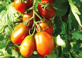 Römische Tomate (Saatgut)