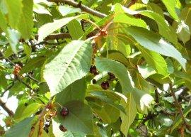 Vogelkirsche (Pflanze)