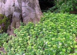 Waldmeister (Pflanze)