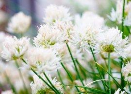 Weißer Schnittlauch 'Corsican White' (Pflanze)