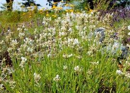 Weißer Zwerglavendel (Pflanze)