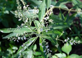 Zitronenverbene - Verveine (Pflanze)