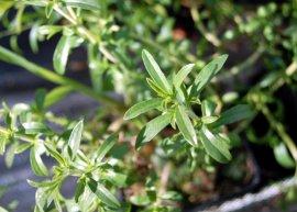 Zitroniges Bergbohnenkraut (Pflanze)