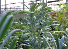 Zwergsalbei (Pflanze)