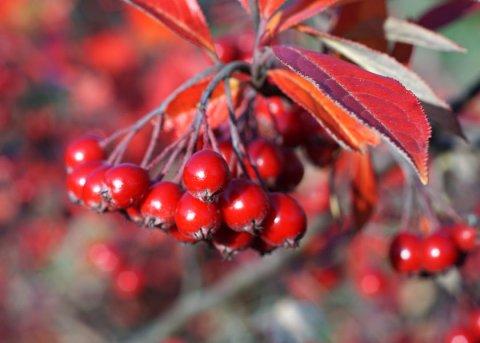 Apfelbeere 'Brilliant' (Pflanze)