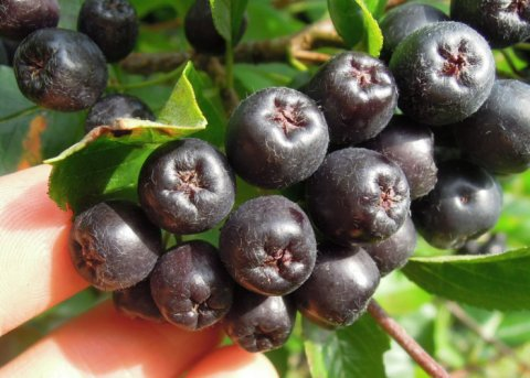 Aronia 'Viking' (Pflanze)