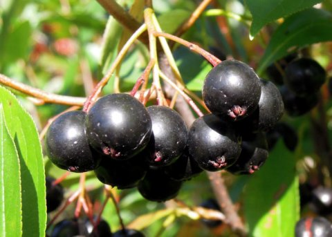 Aronia 'Hugin' (Pflanze)