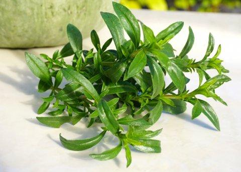 Bergbohnenkraut (Pflanze)