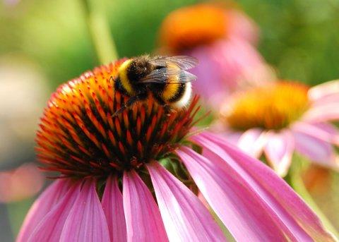 Pflanzenpaket 'Bienen- und Hummelpflanzen' (Pflanzen)