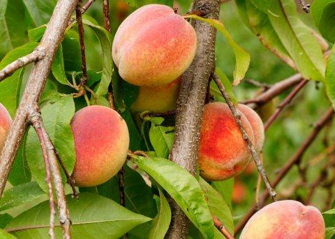 Brandenburger Pfirsich (Pflanze)