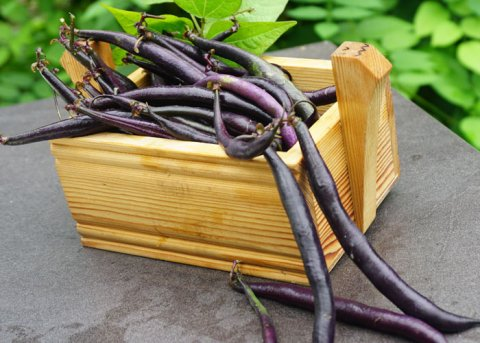 Buschbohne 'Purple Teepee' (Saatgut)