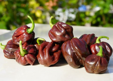 Chili Scotch Bonnet 'Guadaloupe' (Saatgut)