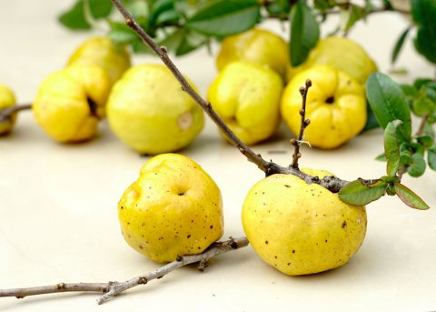 Cido®, Nordische Strauchquitte (Pflanze)