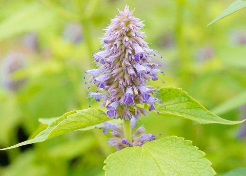 Agastache 'Golden Jubilee' (Pflanze)