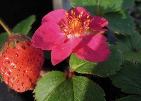 Erdbeere 'Rubra', rotblühend (Pflanze)