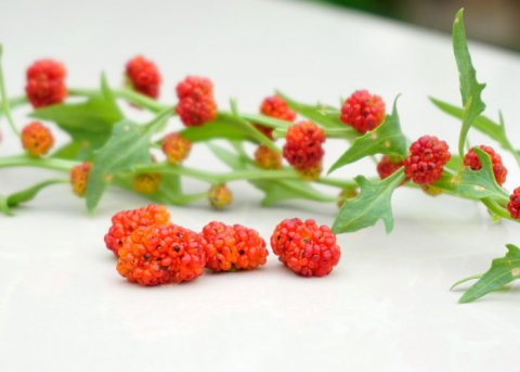 Erdbeerspinat (Saatgut)