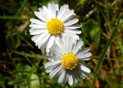 Gänseblümchen (Saatgut)