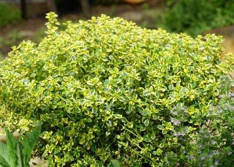 Gelber Zitronenthymian 'Aureo' (Pflanze)