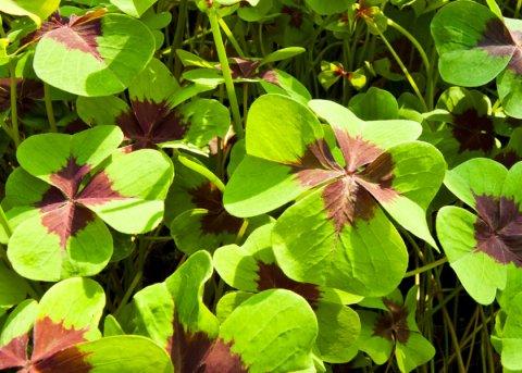 Glücksklee-Rübchen (Pflanze)