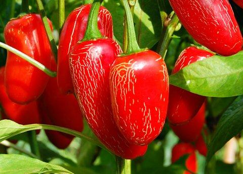 Chili Jalapeno (Saatgut)