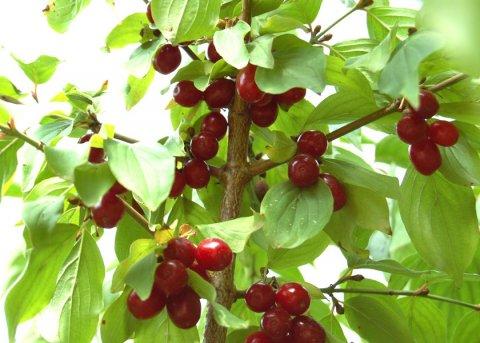 Japanische Kornelkirsche (Pflanze)