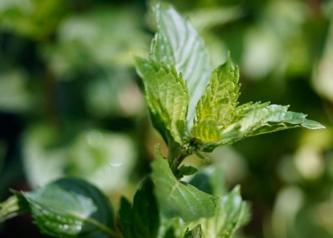 Kärntner Nudelminze (Pflanze)