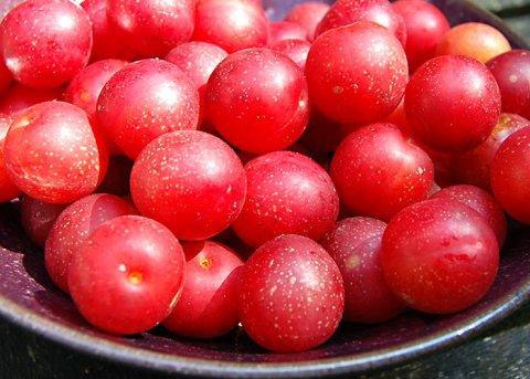 Kirschpflaume (Pflanze)