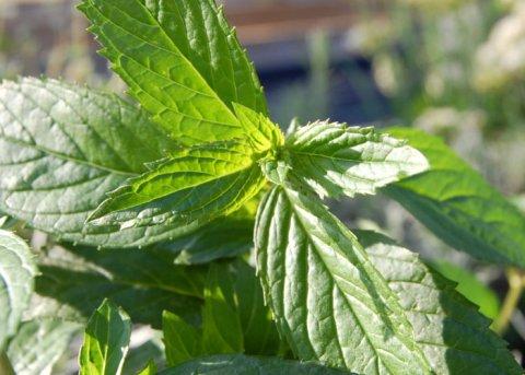 Kümmelminze (Pflanze)