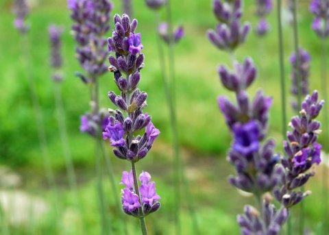 Provence-Lavendel 'Abrialis' (Pflanze)