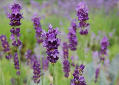 Lavendel 'Peter Pan' (Pflanze)