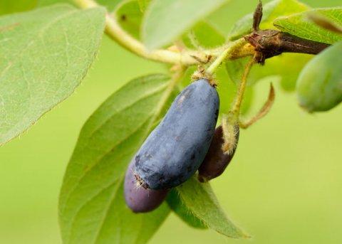 Maibeere 'Zojka' (Pflanze)