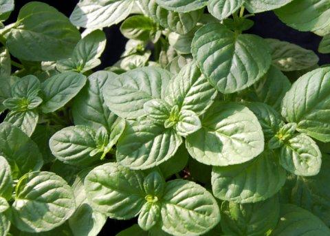 Mentuccia-Minze (Pflanze)