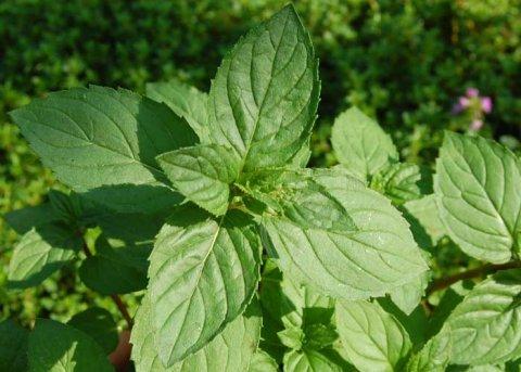 Ägyptische Minze (Pflanze)