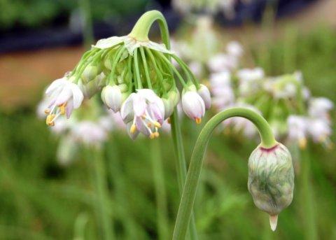 Nickender Lauch (Pflanze)