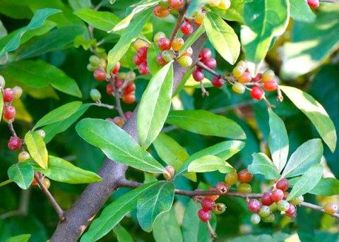 Essbare Ölweide (Pflanze)