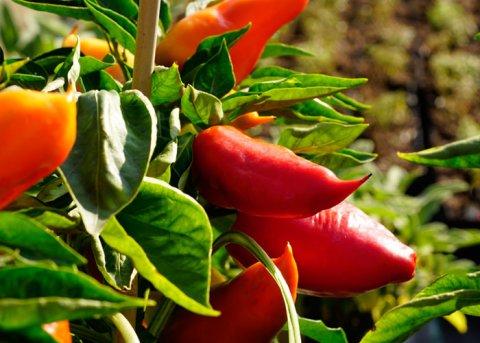 Paprika 'Roter Augsburger' (Saatgut)