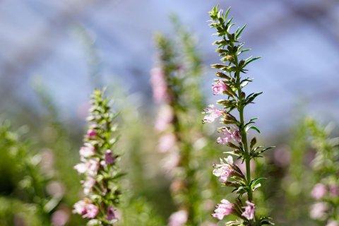 Rosa Ysop (Pflanze)