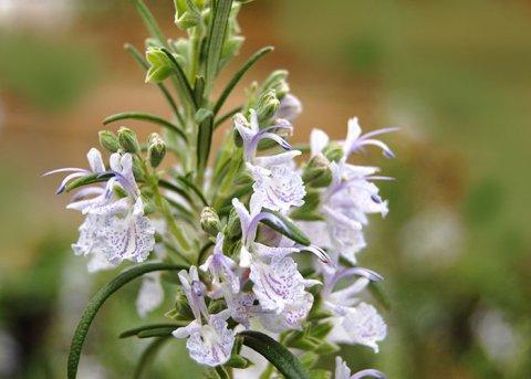 Rosmarin 'Rosemary's Choice' (Pflanze)